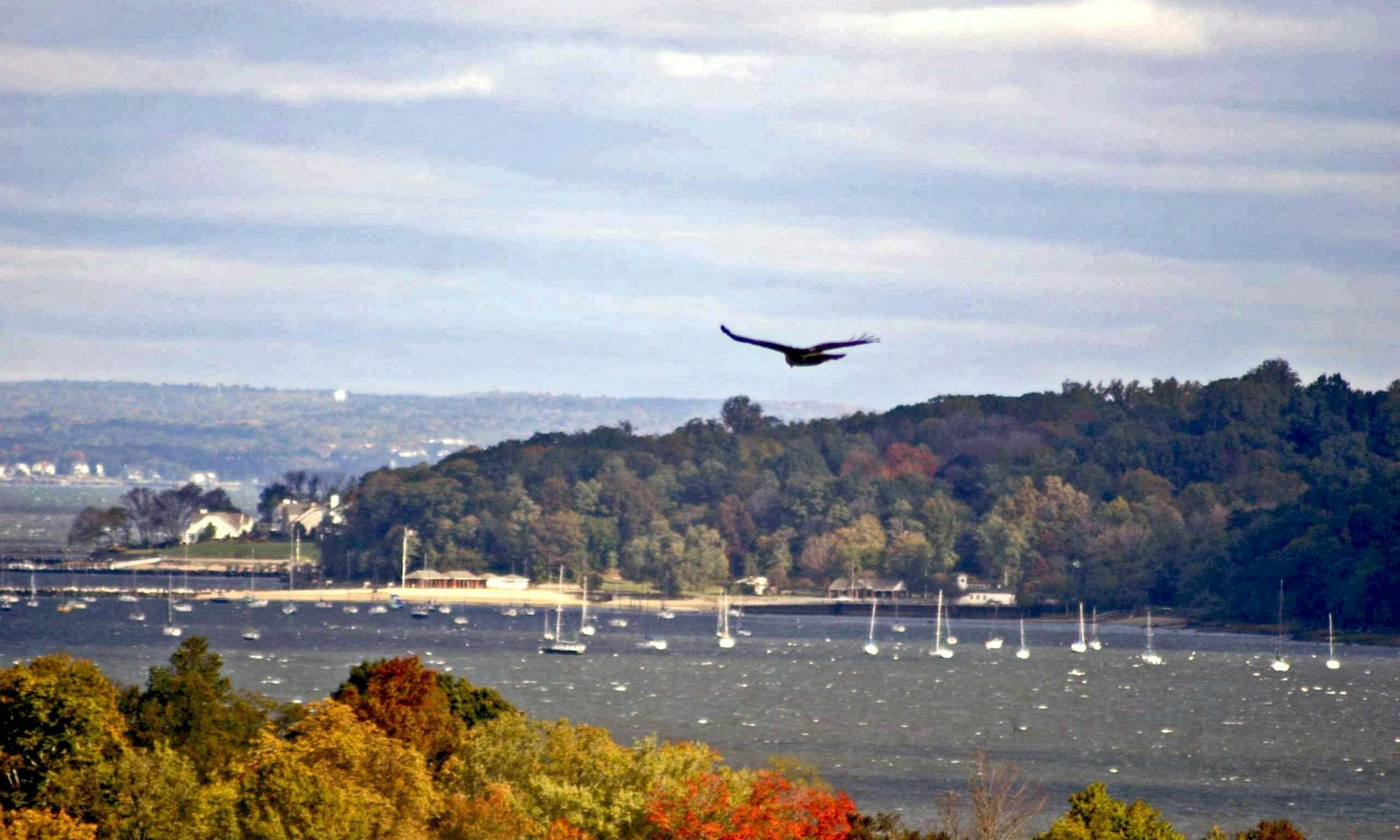 Image of Osprey flying over Fall foliage in the Harbor